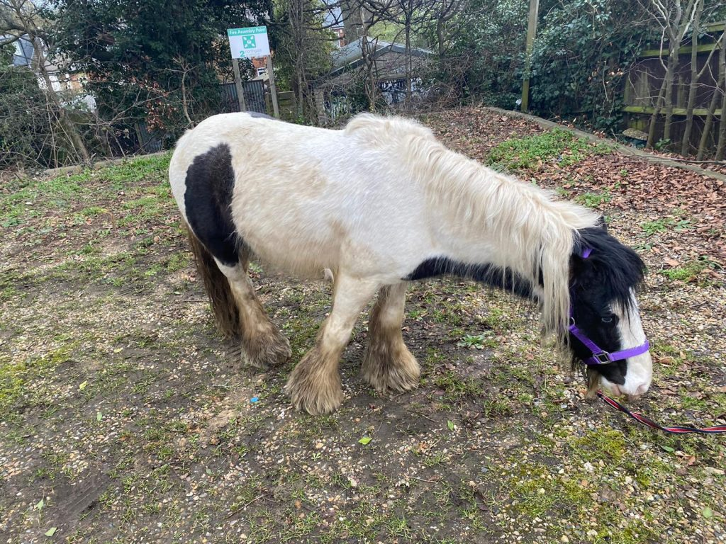 Police search for owner of pony found wandering streets in Bury St Edmunds