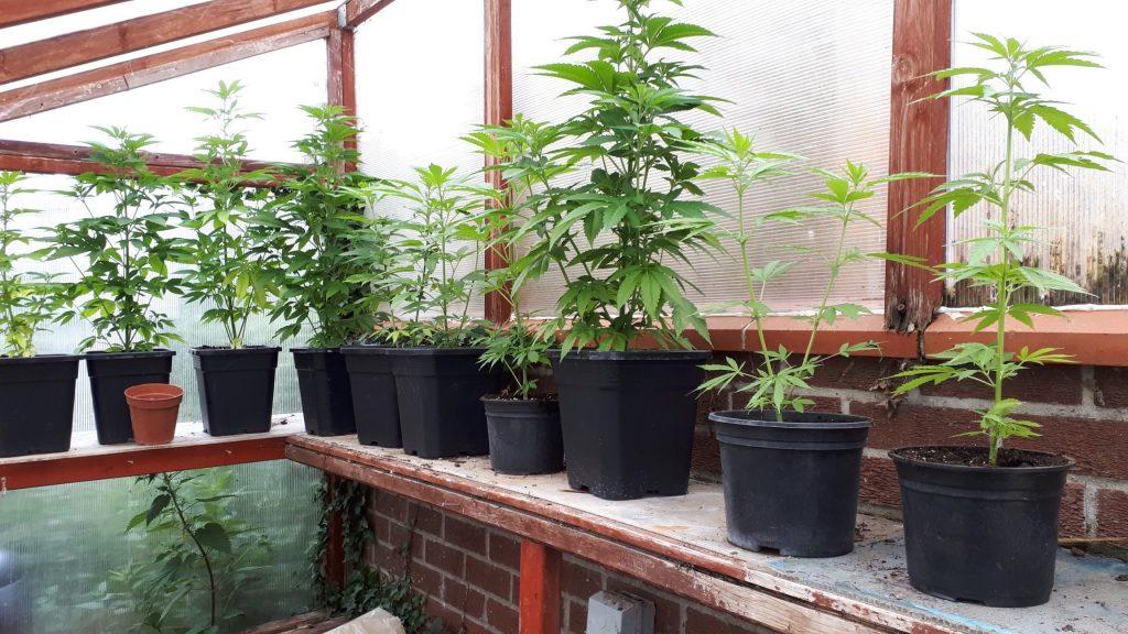Cannabis plants seized following warrant in Elmswell